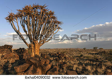 Stock Photo of Quiver tree (Aloe dichotoma), blooming, in the.