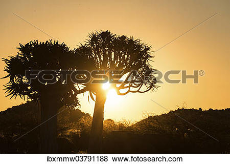 "Pictures of ""Quiver Trees or Kokerbaum (Aloe dichotoma), at sunset."