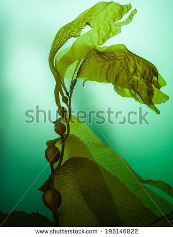 Kelp Stock Images, Royalty.