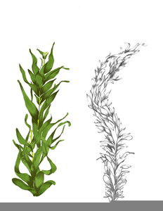 Kelp Png (111+ images in Collection) Page 3.
