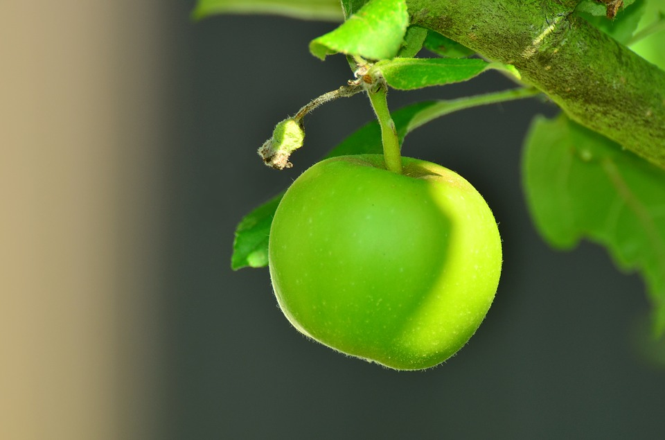 Free photo Kernobstgewaechs Tree Apple Green Apple Apple Tree.