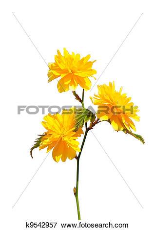 Picture of Kerria (Kerria japonica) k9542957.