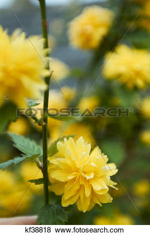 Pictures of Kerria Japonica Plentiflora Yellow Flower kf38818.