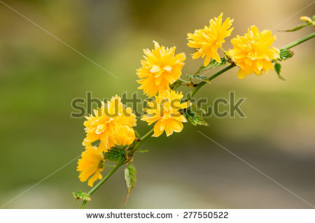 Kerria Japonica Stock Photos, Royalty.