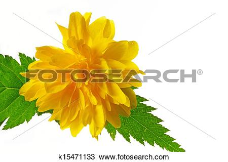 Stock Photo of Flowering Kerria japonica (Japanese Rose) k15471133.