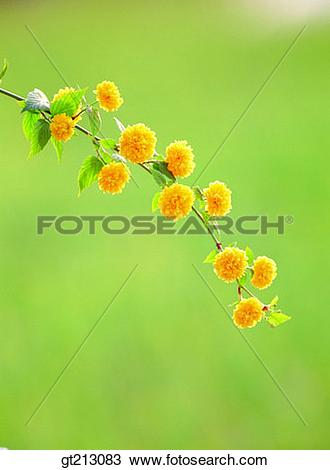 Stock Photo of Japanese rose, Kerria japonica, branch, spring.