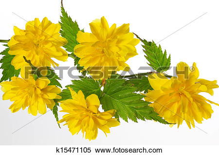 Stock Image of Flowering Kerria japonica (Japanese Rose) k15471105.