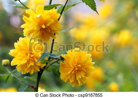 Stock Images of Kerria japonica pleniflora.