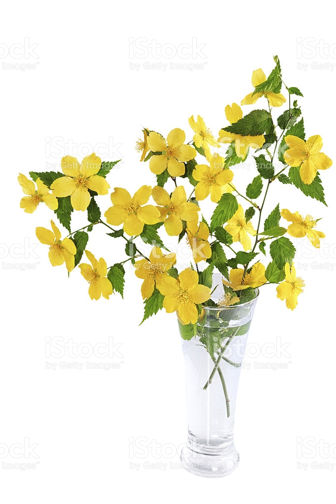 Kerria Japonica Yellow Wildflowers Isolated On White Background.