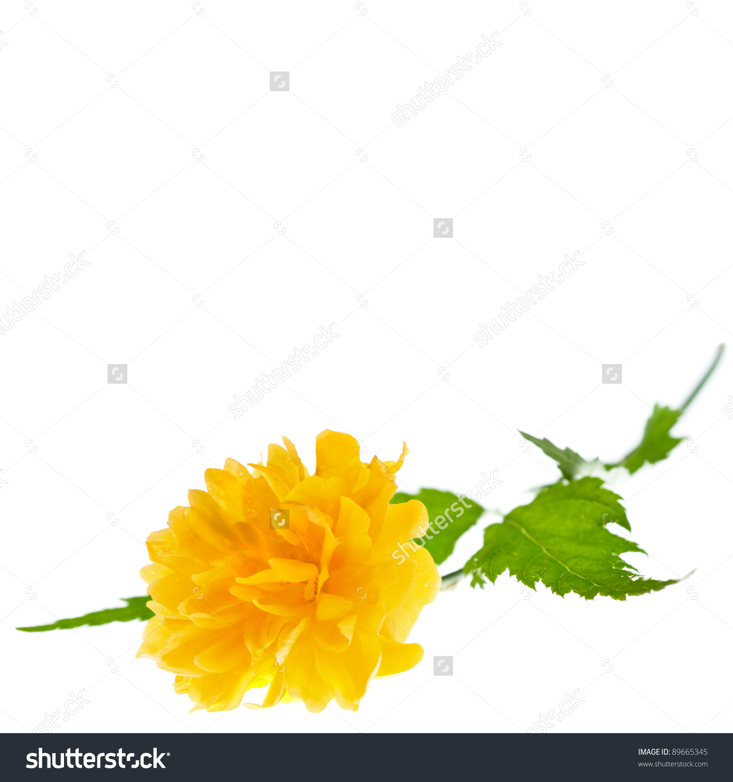 Japanese Kerria, Kerria Japonica Or Pleniflora. Single Flower.