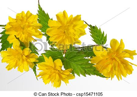 Stock Photography of Flowering Kerria japonica (Japanese Rose.