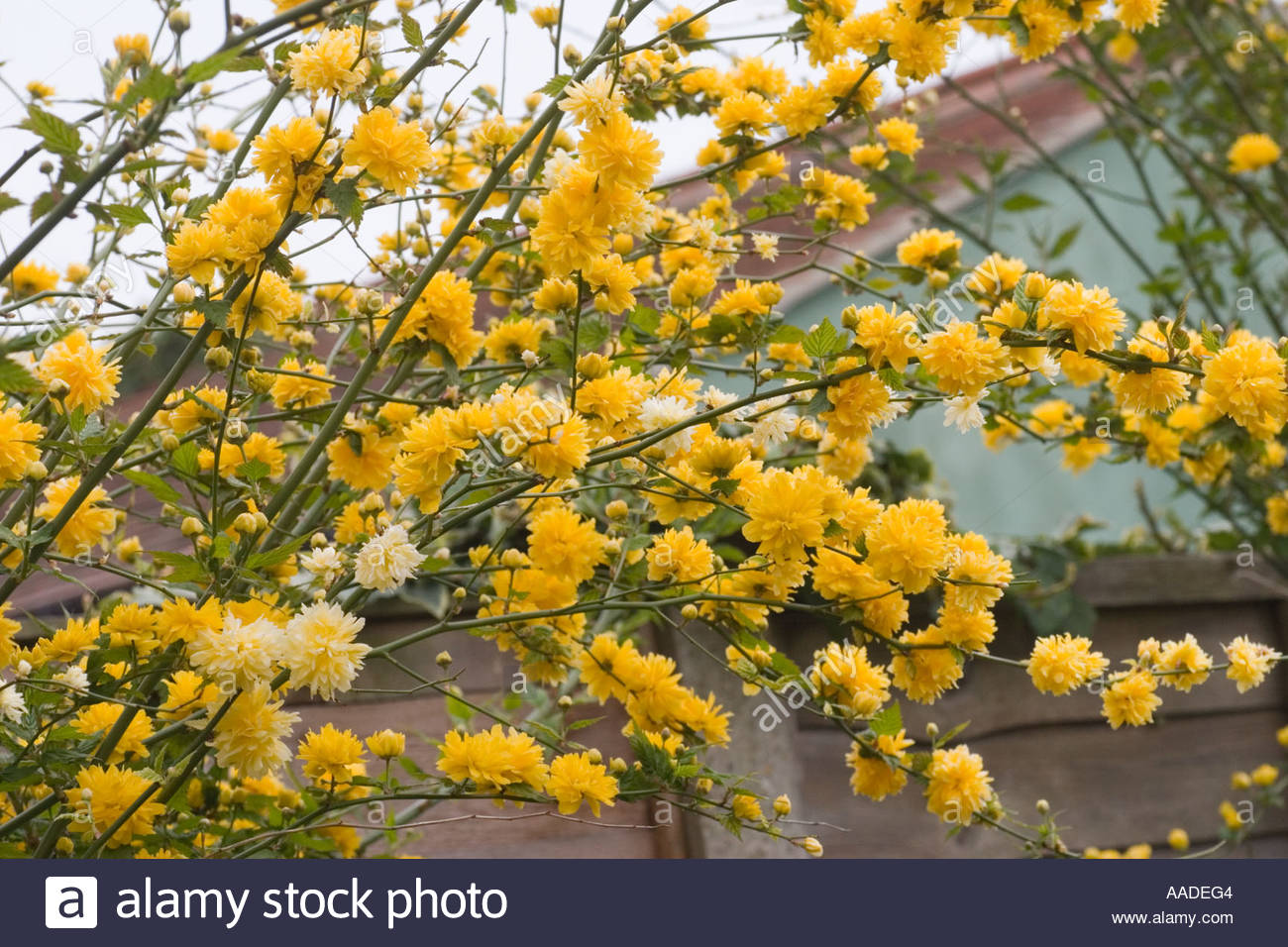 Yellow Kerria Japonica Flower Stock Photo, Royalty Free Image.