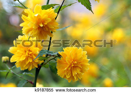 Stock Image of Kerria japonica pleniflora k9187855.