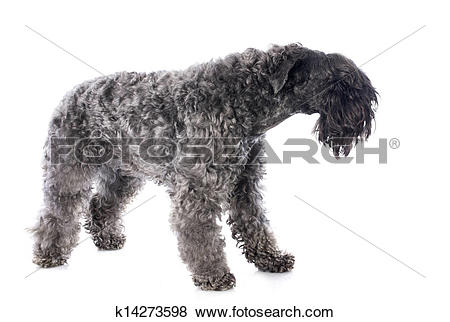 Pictures of kerry blue terrier k14273598.