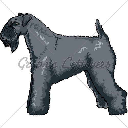 Kerry Blue Terrier · GL Stock Images.