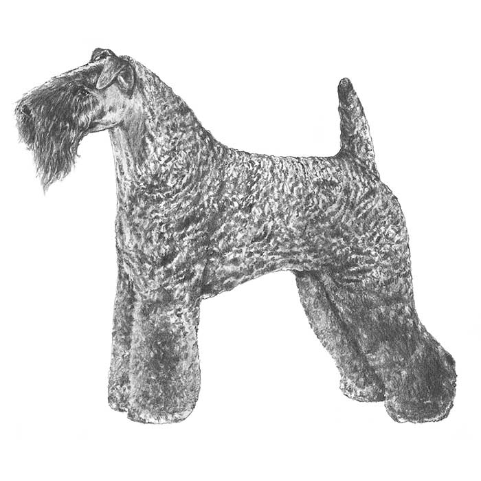 Kerry Blue Terrier Dog Breed Information.