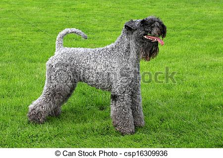 Stock Photos of Portrait of Kerry Blue Terrier.