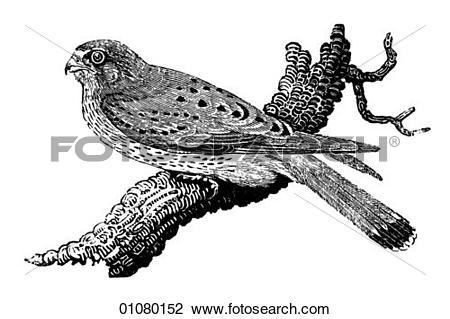 Kestrel Illustrations and Clipart. 10 kestrel royalty free.