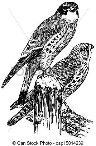 Kestrel Illustrations and Stock Art. 32 Kestrel illustration and.