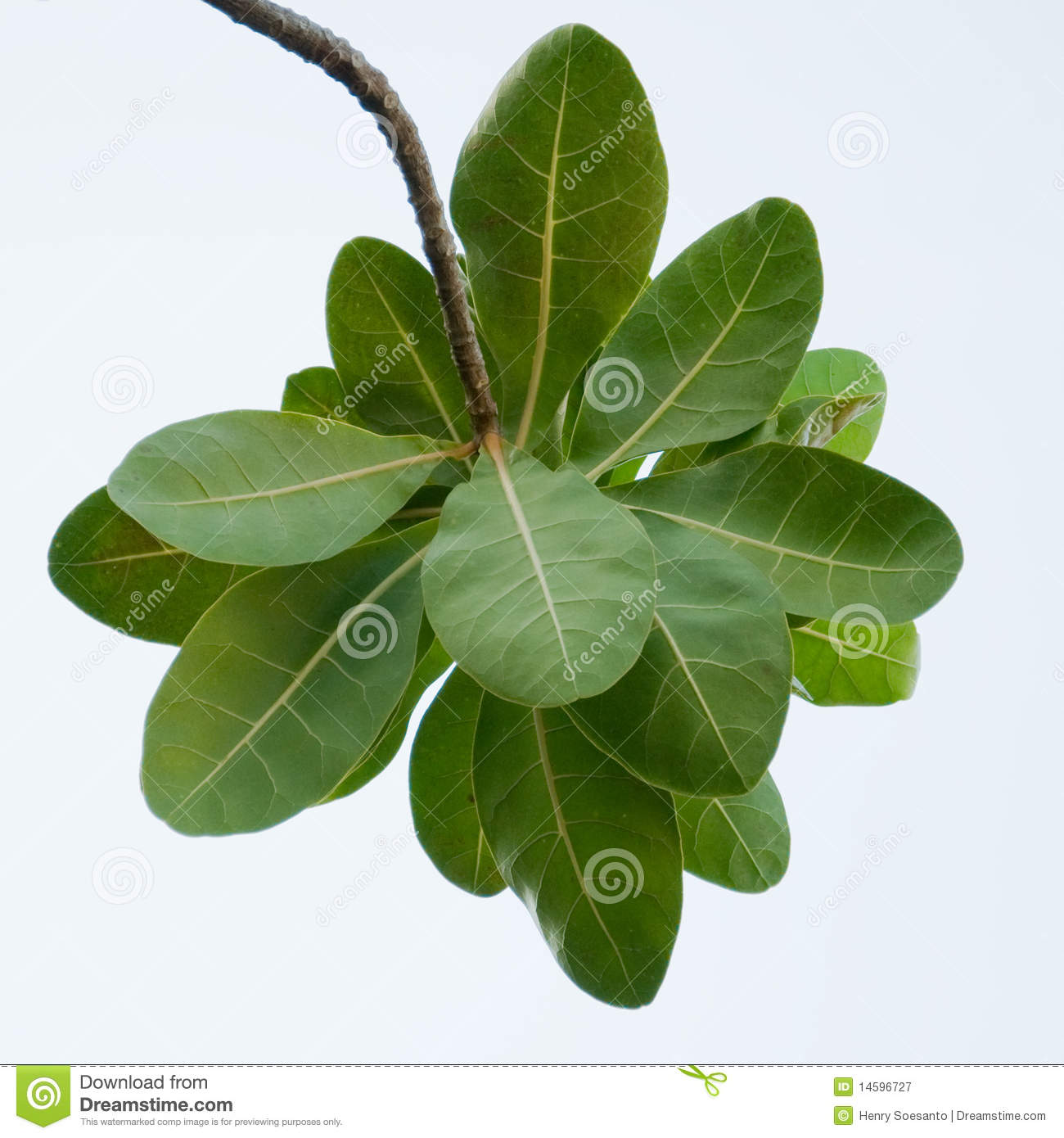 Ketapang Terminalia Catappa Indian Almond Leaves Royalty Free.