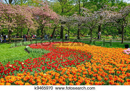 Stock Photography of Red and orange tulips in Keukenhof park in.