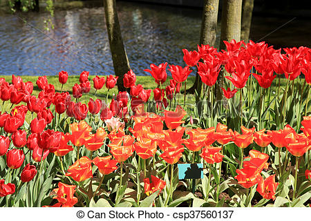 Stock Photos of Ped tulips near beutiful pond in flower park.