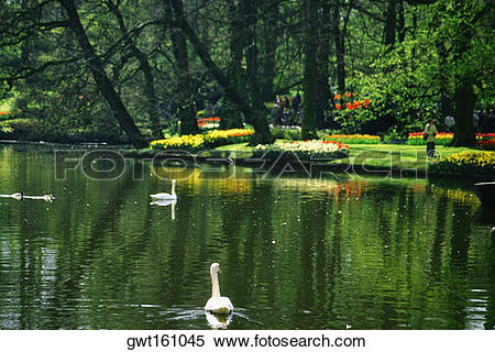 Stock Image of Two swans in a pond, Keukenhof Gardens, Lisse.