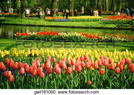 Stock Photography of Tulip growing in a garden, Keukenhof Gardens.