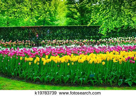 Stock Photograph of Garden in Keukenhof, tulip flowers and trees.