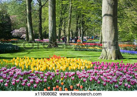 Stock Photo of Netherland, Keukenhof Park, garden beds of tulips.
