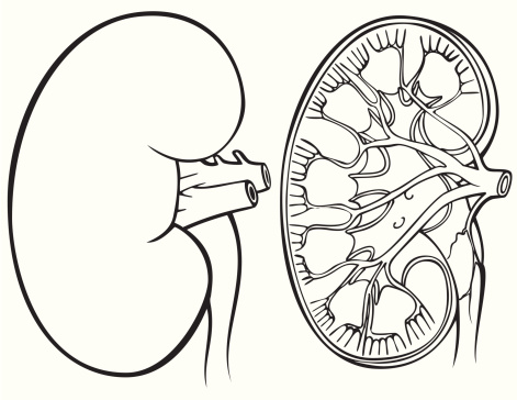 Kidney clipart black and white.