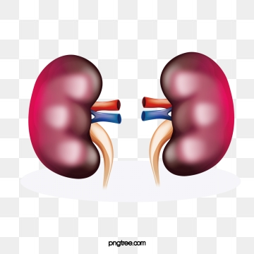 Kidney Png, Vector, PSD, and Clipart With Transparent Background for.