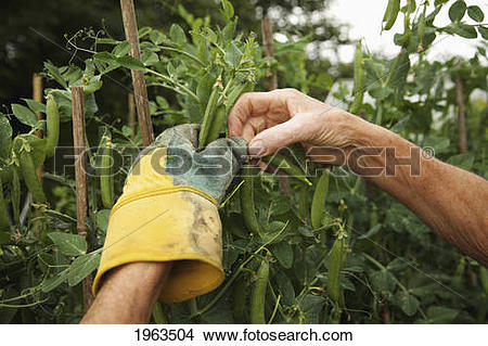 Stock Photo of a person's hands picking peas in the garden; naas.