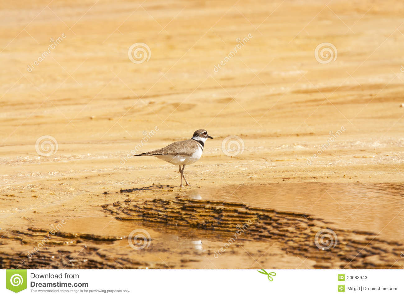 Killdeer Plover Bird In Yellowstone Stock Photos.