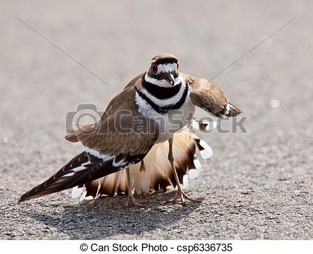 Stock Images of Killdeer bird warding off danger.