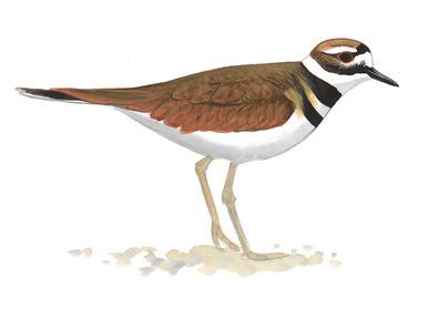 Birdist Rule #61: Find Your First Shorebird.