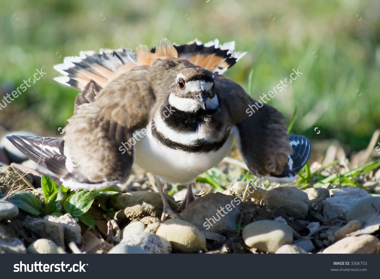 A Mother Killdeer, Sitting On Her Eggs, Puffs Up Into A Defensive.