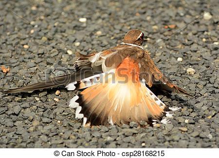 Stock Photography of Killdeer Broken Wing Dance.