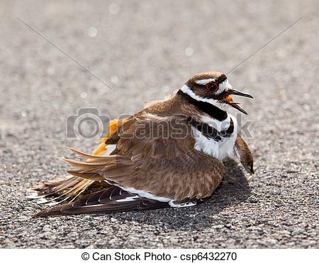 Stock Photography of Killdeer bird warding off danger.