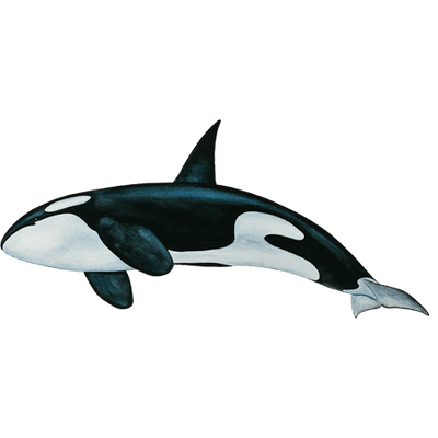 Download Free png Killer whale PNG, Download PNG image with.