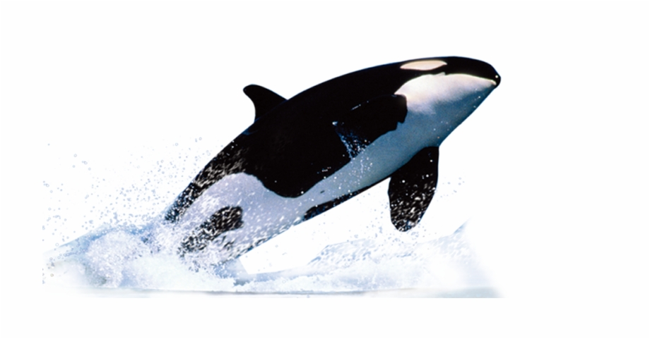Killer Whale Png.