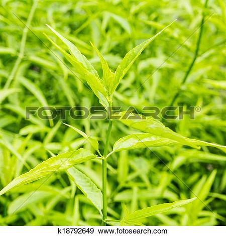 Stock Photograph of King of Bitter Herb.