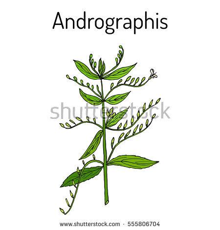 Andrographis Paniculata Stock Photos, Royalty.
