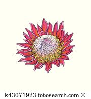 King protea Clipart Vector Graphics. 9 king protea EPS clip art.