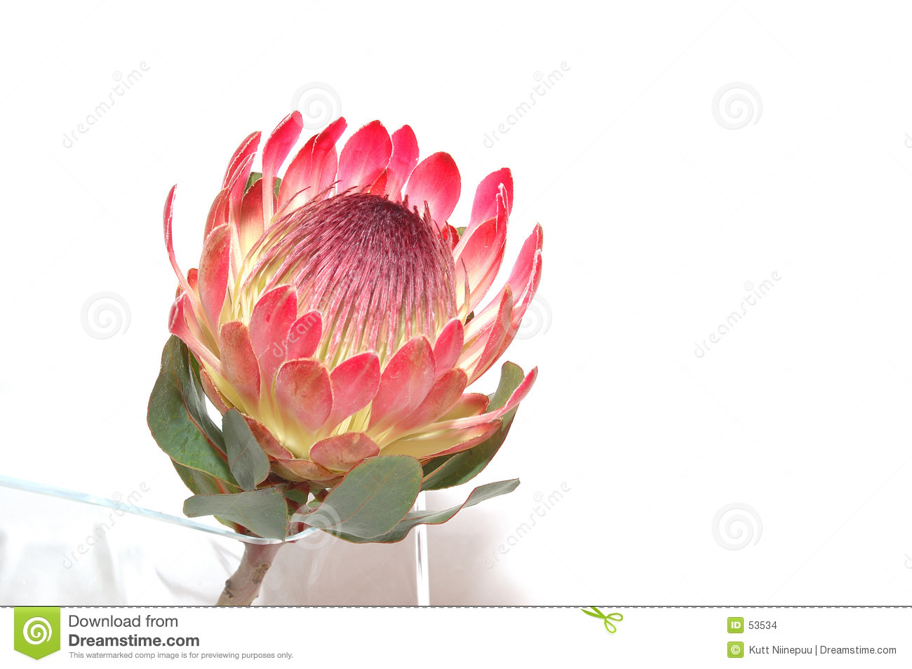 King Protea Clipart 20 Free Cliparts Download Images On