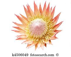 King protea Stock Photo Images. 187 king protea royalty free.
