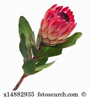 Protea flower Images and Stock Photos. 1,095 protea flower.