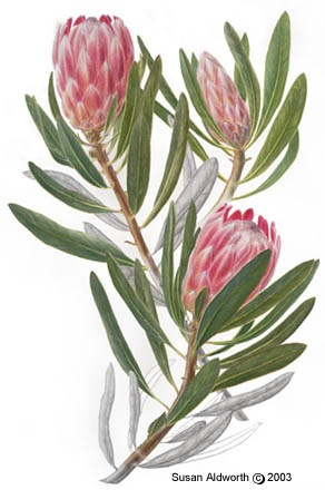 1000+ images about Protea in Art on Pinterest.