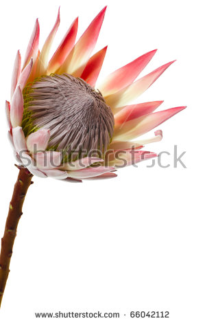 Protea Flower Stock Images, Royalty.
