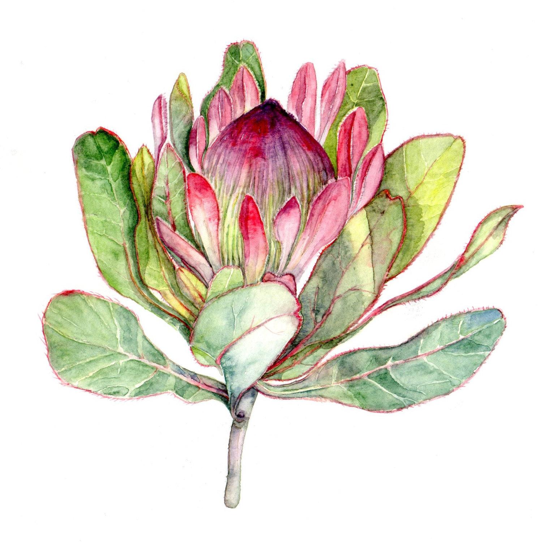 Proteas.
